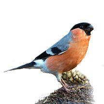 goudvink / Birdphoto De goudvink wil graag een grote dichtbegroeide (bessen) tuin. Hij leeft namelijk het liefst in een gemengd bos (naaldbomen en loofbomen) waar veel struiken onder de bomen staan. Soms laat hij zich ook bij een voedertafel zien. Dat is dan vooral in de winter. Ondanks de prachtige roze-rode borst van het mannetje valt hij zo niet snel op, omdat hij niet erg beweeglijk is.
