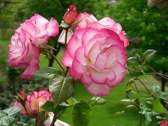 Queen's Roses - Windsor Castle