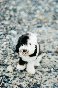 An adorable sheepadoodle.