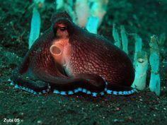 Cephalopods (sepias, squids, octopus) , photos of mimic octopus and other rare animals - Tintenfisch-Fotos (Sepias, Kraken, Oktopoden) unter anderm vom Mimik-Oktopus und Blauring-Oktopus