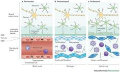 Astrocyte barriers to neurotoxic inflammation Astrocytes form borders (glia limitans) that separate neural from non-neural tissue along perivascular spaces, meninges and tissue lesions in the CNS. Transgenic loss-of-function studies reveal that astrocyte borders and scars serve as functional barriers that restrict the entry of inflammatory cells into CNS parenchyma in health and disease. Astrocytes also have powerful pro-inflammatory potential. Thus, astrocytes are emerging as pivotal…