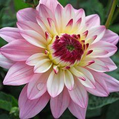 Dahlia 'Gallery Salvador' - Rose Cottage Plants