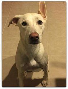 Queen Creek, AZ - Labrador Retriever Mix. Meet Cindy, a dog for adoption. http://www.adoptapet.com/pet/17246245-queen-creek-arizona-labrador-retriever-mix