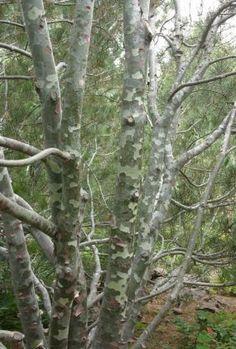 Lacebark pine (Pinus bungeana, Zones 4-7)