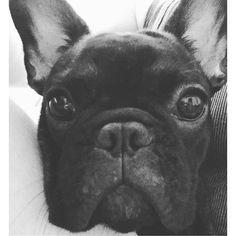 ( ̄(エ) ̄)v モノクロどアップコマさん❤️ #フレンチブルドッグ #フレブル#フレブルパピー #ブリンドル#小町#コマさん#犬バカ部 #愛犬#frenchbulldog #puppygram #dog #petstagram #pet