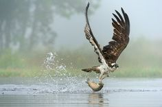 """""""An osprey swoops in on a rainbow trout and makes off with a meal, on the Highland Estate of Rothiemurchus near Aviemore, in the Cairngorms National Park in Scotland."""" Photograph: Richard Peters/Rex Features"""