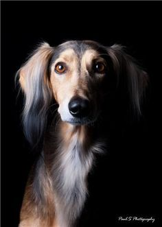 Skyzar Salukis Beautiful Dogs, Animals Beautiful, I Love Dogs, Cute Dogs, Magyar Agar, Purebred Dogs, Whippets, Hound Breeds, Dog Photography