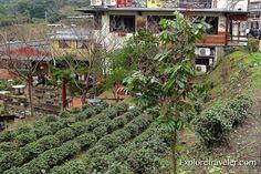 Taiwan local tea garden in the mountains of Wanshin Village