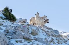 Three wolves, december 2014. The location was Sila National Park, Calabria - Italy.