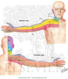 Cervical Dermatome Map http://www.netterimages.com/images/vpv/000/000/010/10820-0550x0475.jpg