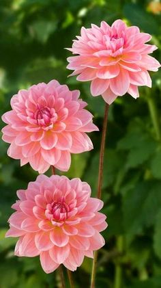 ~~Dahlia 'Janice' ~ pink Waterlily dahlia that combines well with all co. - ya k ~~Dahlia Flowers Nature, Exotic Flowers, Amazing Flowers, My Flower, Pretty Flowers, Pink Flowers, Cactus Flower, Pink Roses, Beautiful Flowers Photos