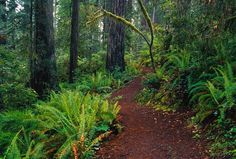 Trail through Redwood Trees