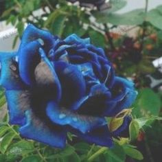 200 Rose Flower Seeds Mixed Multicolored Decorative Rare Plants in Garden Bonsai Black Rose Flower, Blue Lotus Flower, Home Garden Plants, Bonsai Garden, Moonflower Vine, Lotus Flower Seeds, Acer Rubrum, Petunia, Light Blue Roses