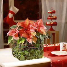 Zdjęcie numer 1 w galerii - Gwiazda betlejemska - Poinsecja. Ozdoby i dekoracje świąteczne na Boże Narodzenie