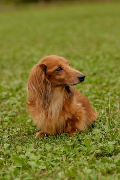long haired doxie in the grass #cute #dachshund