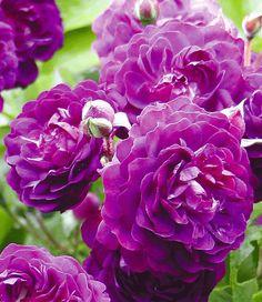 Rambler-Rose 'Bleu Magenta'