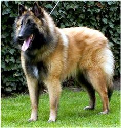 #Tervuren Belgian Shepherd Sheepdog #Dogs #Puppy