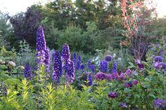 delphiniums, allium, purples