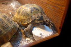 Tortaddiction: How to make home-made calcium blocks for tortoises