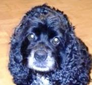 Meet Gloria a Petfinder adoptable Cocker Spaniel Dog | Houston, TX | Hello.  My name is Gloria!  I was found wandering around town and hitched a ride to find a better...
