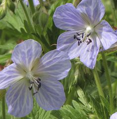 Geranium pratense 'Mrs Kendall Clark' : A vigorous form of the species with unusual pale blue & grey striped flowers. Award: AGM (EG Cottage Garden Plants, Blue Garden, Garden Trees, Summer Garden, Succulents Garden, House Plants, Planting Flowers, Trees And Shrubs, Trees To Plant