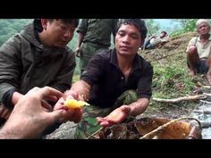 ▶ Hallucinogen Honey Hunters - There is a hallucinogenic honey that is produced only by Himalayan bees that are double the size of normal bees.