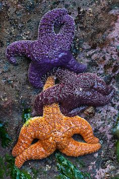 Color Variation in Ochre Sea Star by Lee Rentz, via Flickr  Olympic National Park, Washington State, USA