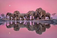 Frans Lanting/The Masters of Nature Photography (African elephants at twilight, Okavango Delta, Chobe national park, Botswana, 1988)