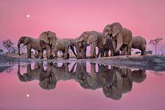 Twilight of the giants (African elephants at twilight, Okavango Delta, Chobe national park, Botswana, 1988):