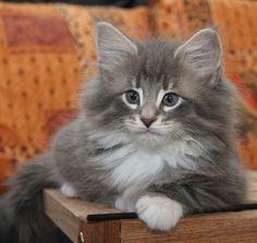 Hi little kitty..love you .. Norwegian forest cat