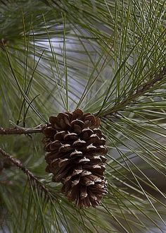 Pine by Susan Williams