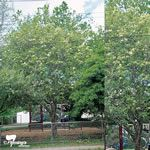 Fraxinus griffithii, can be evergreen in some areas, tolerates a range of conditions Small Trees, Yard Ideas, Evergreen, Backyard, Range, Canning, Garden, Plants, Growing Up