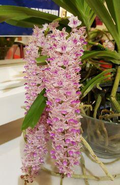 Rhynchostylis Gigantea Orchids. Most Beautiful Flowers, Exotic Flowers, Orchids Garden, Garden Plants, Flower Fairies, My Flower, Ground Orchids, Cactus, Florida Plants
