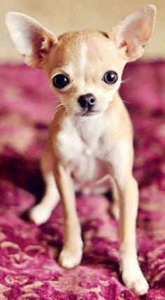 This Chihuahua wants to come home with you!