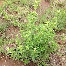 Lippia rehmannii - Google Search Small Shrubs, Water Wise, Garden Beds, Perennials, Wild Flowers, Berries, Herbs, Leaves, Courtyards