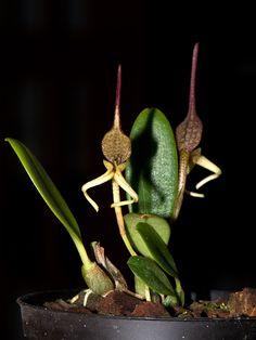 Bulbophyllum schmidii