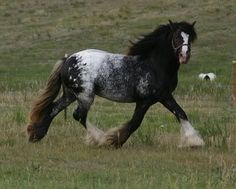 colorful pictures of draught horses | indigo8.jpg Appaloosa Draft Horse image by Cher_777