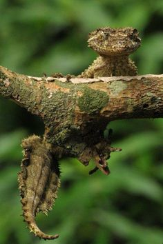 """Can ya see me?"" Leaf-tailed Gecko"