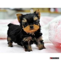 Yorkie Puppies | Teacup Yorkie Puppies for Sale - Bellevue - Animals