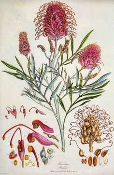 Grevillea banksii, botanical print by Ferdinand Bauer. The original paint-by-numbers artist. He could not carry into the field the full range of colors he needed to depict flora with accuracy, so he put numbers of colors into his sketches. Australian Wildflowers, Australian Native Flowers, Botanical Drawings, Botanical Prints, Botanical Posters, Nature Illustration, Science Illustration, Sphynx, Gravure