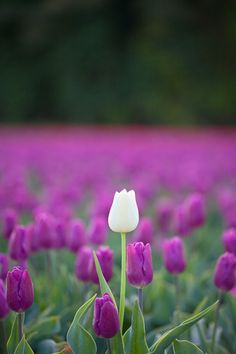 1. The flower represents Marji and how she has a different point of view and us diffferent than her peers. She is very religous and believes she will be a prophet. Just like the flower she stands out of the crowd