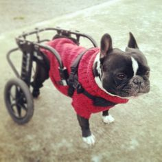 "Wheelchairs for Handicapped Dogs | Hand Built Quality by Ruff Rollin | ""Elmo"" in his fancy sweater"