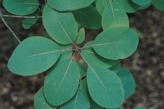 Cotinus obovatus 'Cotton Candy' American Smoketree: has #BlueGreenSummerFoliage with lovely rounded ovate leaves that stand out as a decorative feature b/c quite different from other garden foliage ... Z3a, 18x15', #sun-#part, #dry poor hills-river bluffs, any PH #lime, +pollution/inner-city; #bee #butterfly friendly, #xeriscape, #DeerResistant, #DiseaseResistant; NA native cultivar