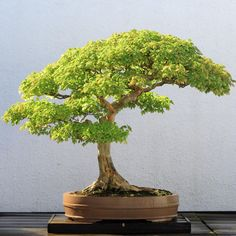 he word bonsai is most closely associated by most with the growing of miniature trees, and although this is somewhat accurate, there is a lot more to it than that. A bonsai is not a genetically overshadowed plant Outdoor Bonsai Tree, Buy Bonsai Tree, Bonsai Tree Care, Bonsai Tree Types, Mini Bonsai, Indoor Bonsai, Bonsai Plants, Bonsai Garden, Bonsai Trees