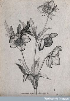 A Christmas rose or black hellebore (Helleborus niger) Credit: Wellcome Library, London.