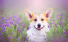 Télécharger fonds d'écran Le Pembroke Welsh Corgi, la lavande, les animaux de compagnie, chiens, Welsh Corgi, mignon, chien, Chien Welsh Corgi, Corgi
