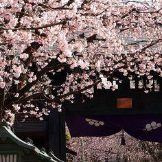(@tomatomato1999 「今週は雪が降るとか降らないとか昨日見た桜も、散ってしまいそうですね…気分転換して充電完了今週は頑張れそうです#安行桜#風景#はなまっぷ#充電完了#写真好きな人と繋がりたい#ファインダー越しの私の世界#はなまっぷ#ザ花部#カメラ散歩倶楽部#カメラ女子#ミラーレス#埼玉#桜#view#icu_japan#ig_japan#IGersJP#Lovers_nippon#team_jp_#flowers#cherryblossom#team_jp_#wp_japan#whim_life#wp_flower#japan_daytime_view#jp_gallery#phos_japan#love#japan#icu_bokeh」