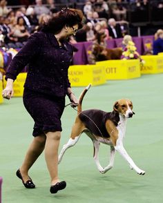 Jewel, an American Foxhound, is shown in the ring on the way to winning the hound group - Picture: Frank Franklin II/AP American Foxhound, The Fox And The Hound, Group Pictures, Dog Show, Westminster, Make Me Smile, Puppy Love, Penguins, Jewel