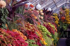 chrysanthemum and mums = ornamental grass and coleus