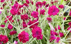 14 top pink flowers garden design plants. When you think pink, you think of girls. But did you know it has not always been that way? In the 19th century, boys wore pink and girls wore blue. Pink was considered a rich, strong colour, and pink plants are so impactful in the garden.  Pink is also a flexible colour because it can